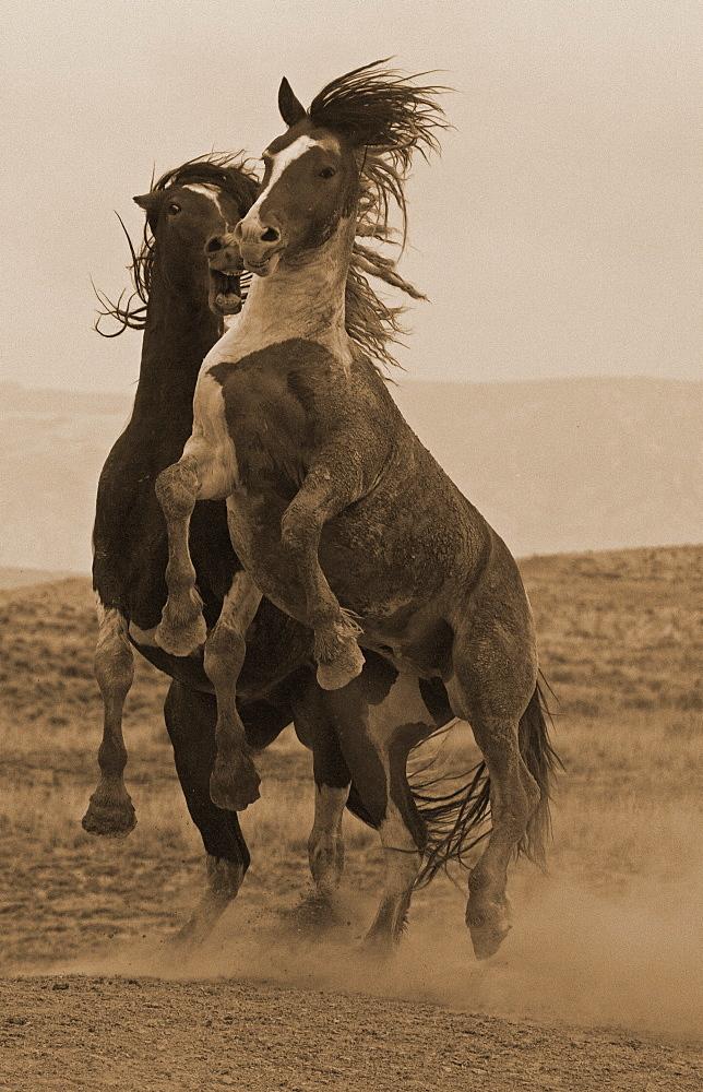 Fighting Wild Stallions - Sepia, Equus ferus; Wild Horses; Wild Horses Fighting; McCullough Range; Wyoming - 1065-32