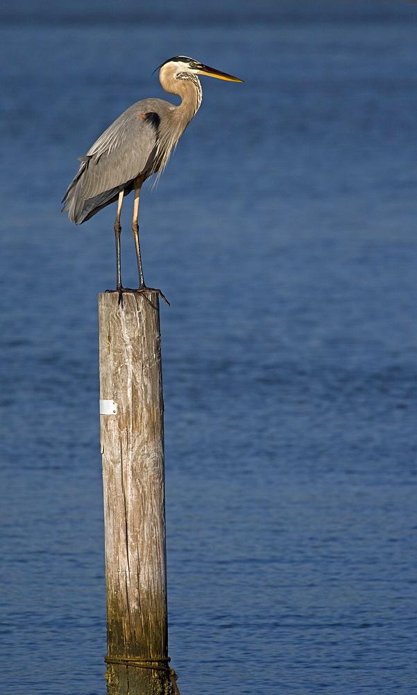 Great Blue Heron, Ardea herodias; Great Blue Heron; Great Blue Heron on a perch - 1065-38