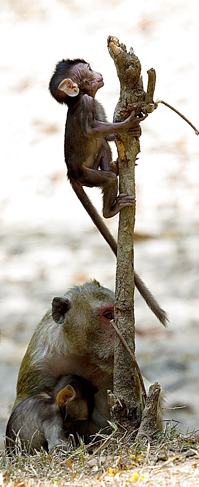 Monkey On A Stick, Macaca mulatta, Rhesus Monkey, Seam Reap, Cambodia - 1065-44