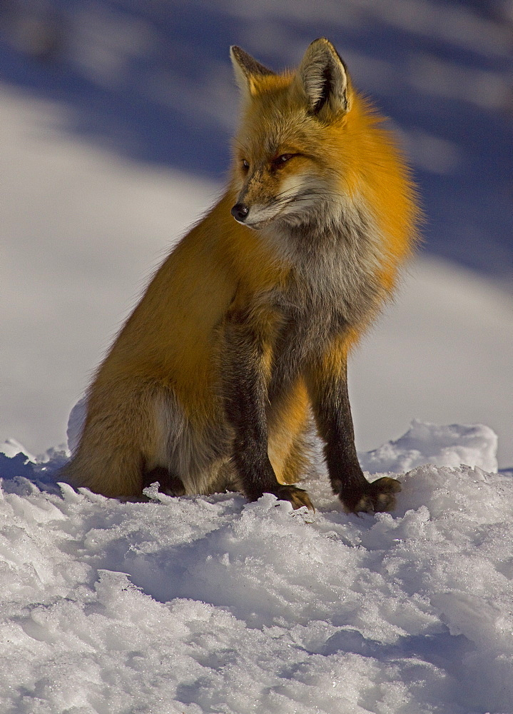 A Red vixen fox sitting on the edge of a snowy hill.  Northfork Canyon, Wyoming - 1065-54