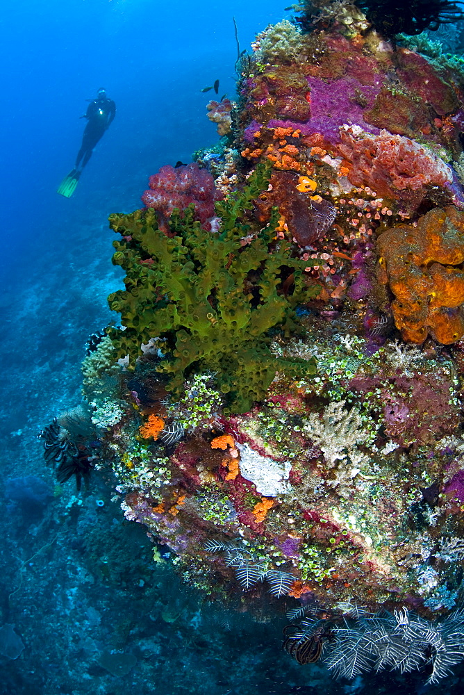 Diver looks at diverse coral reef including a green cup coral colony (Tubastrea micrantha)  Komodo, Indonesia, Pacific Ocean. - 1067-29