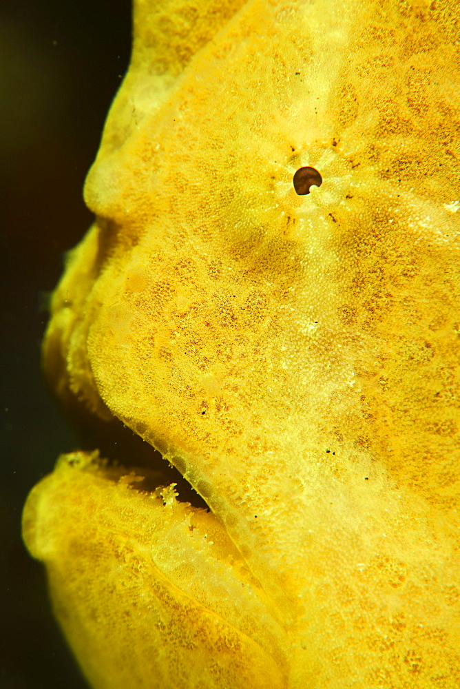 Yellow Giant frogfish, Antennarius commerson, eye and mouth.  This is the largest of all frogfish and is widespread on coral reefs in the Indo-Pacific region.  Lembeh Strait, North Sulawesi, Indonesia, Pacific Ocean. - 1067-45