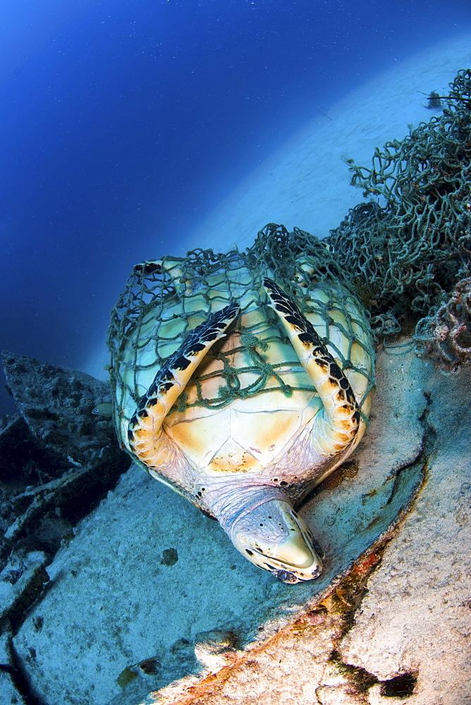 Hawksbill turtle trapped in fishing net, British Virgin Islands - 1072-100