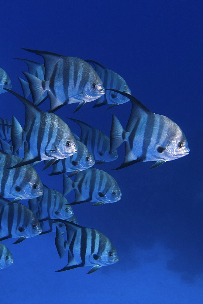 shoal of Spadefish, Bahamas - 1072-106