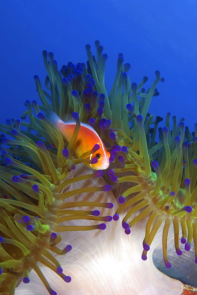 Anemone fish in its anemone, Pohnpei, Micronesia - 1072-11