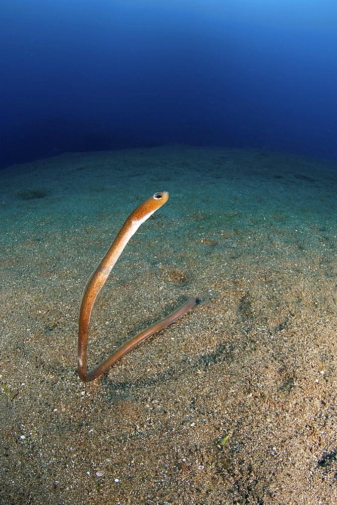 garden eel. St. Kitts, West Indies