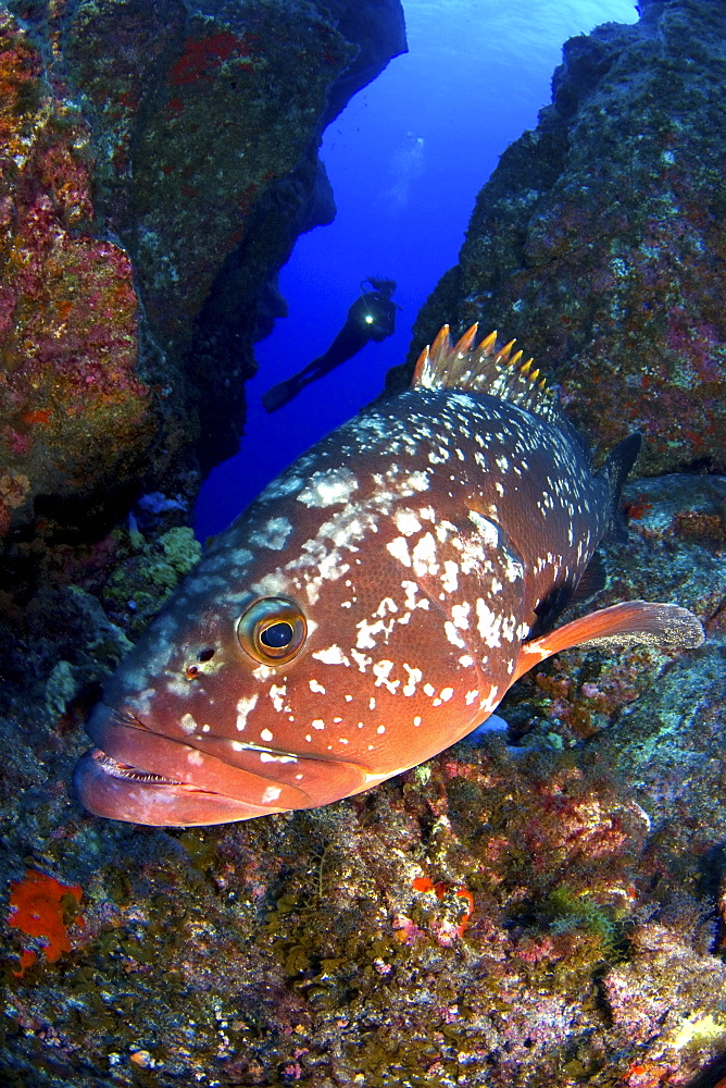 Grouper and diver silhouette, El Hierro, Canary Islands - 1072-14