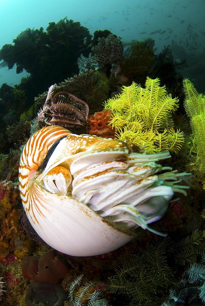 Nautilus, Komodo Indonesia - 1072-28