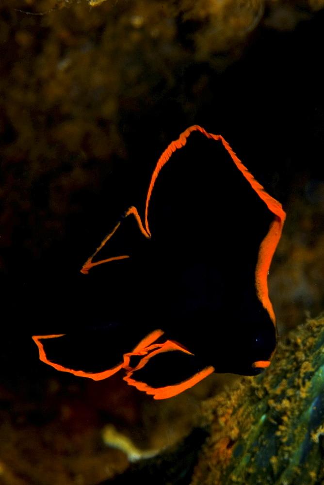 juvenile batfish, Indonesia - 1072-29