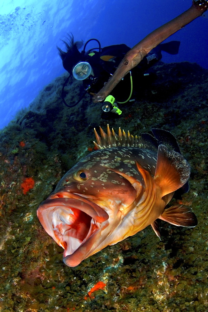 Grouper with mouth open and female diver, El Hierro, Canary Islands - 1072-43