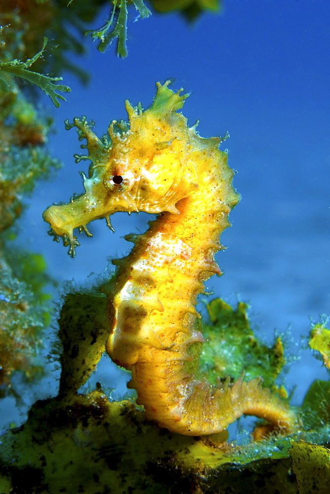 Seahorse, Gran Canaria, Canary Islands - 1072-52