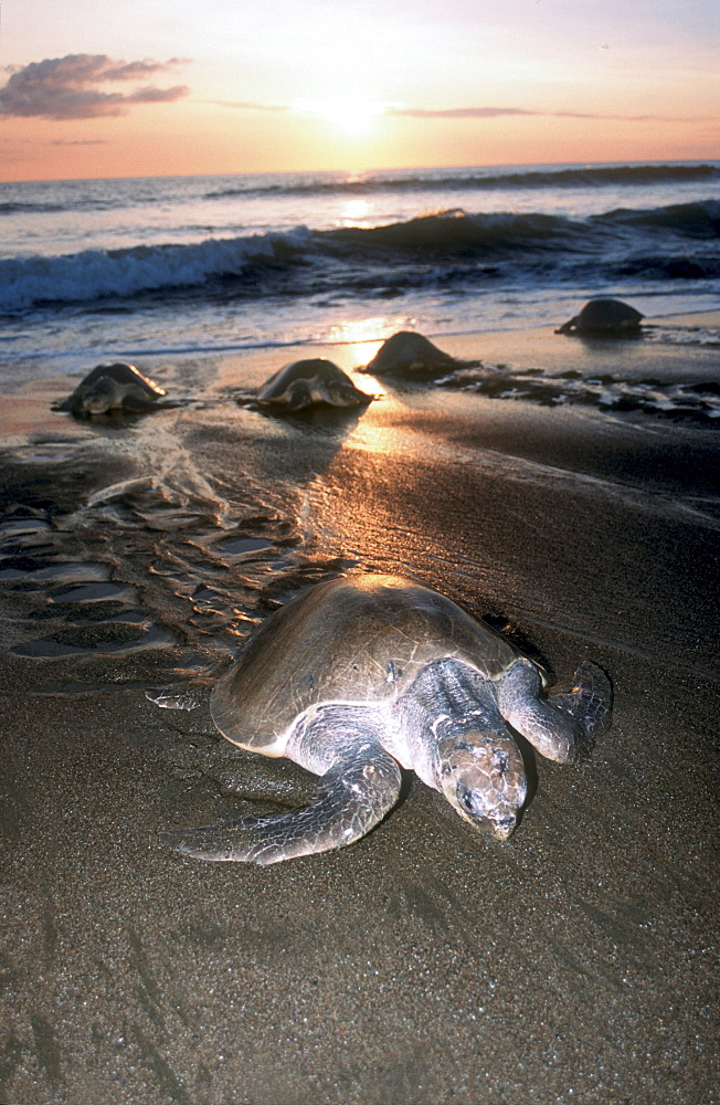 Olive Ridley Sea Turtle going ashore to lay eggs during arribada, Ostional, Costa Rica
