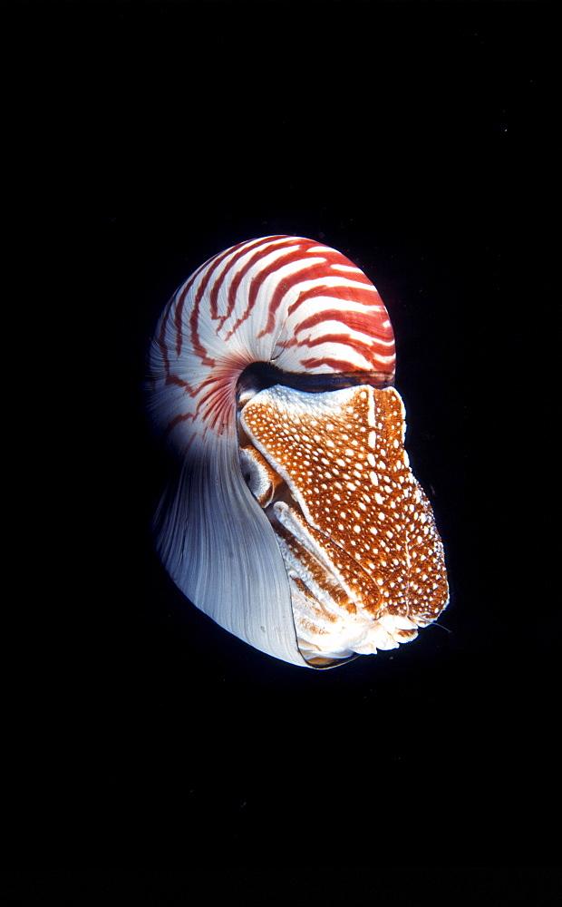 Nautilus, Papua New Guinea