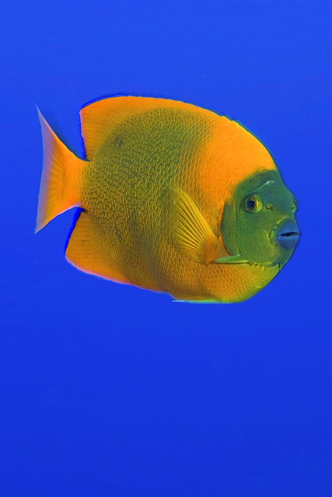 Calrion Angelfish. Socorro. Revillagigedo Islands, Pacific Ocean Pacific Ocean - 1072-91
