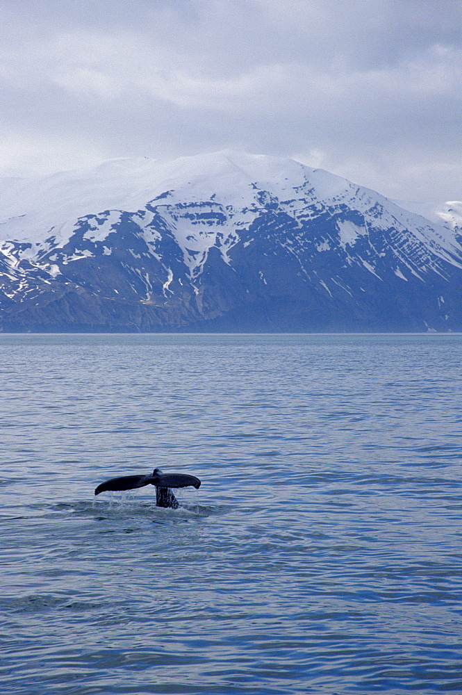 Humpback whale (Megaptera novaeangliae) fluking up for a deep dive in fjordland, with snow behind on the Mountains of Kinn. Husavik, Iceland - 1074-3