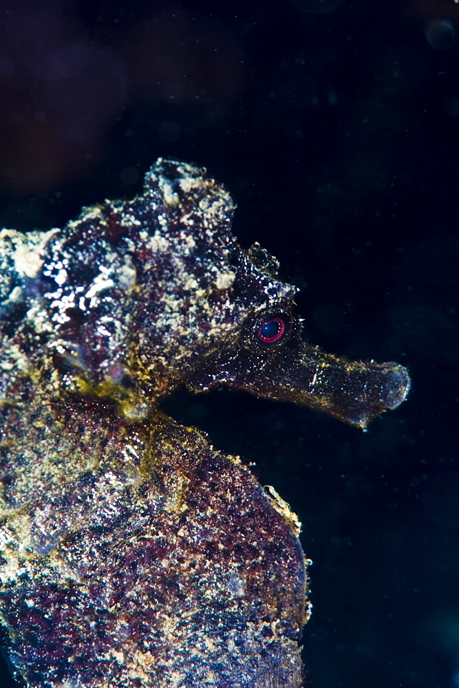 Black longsnout seahorse (Hippocampus reidi), St. Lucia, West Indies, Caribbean, Central America