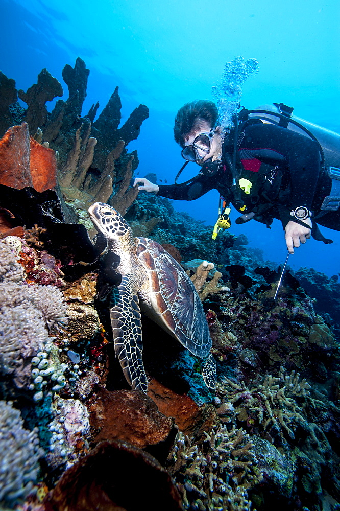 Diver and green turtle (Chelonia mydas), Sulawesi, Indonesia, Southeast Asia, Asia
