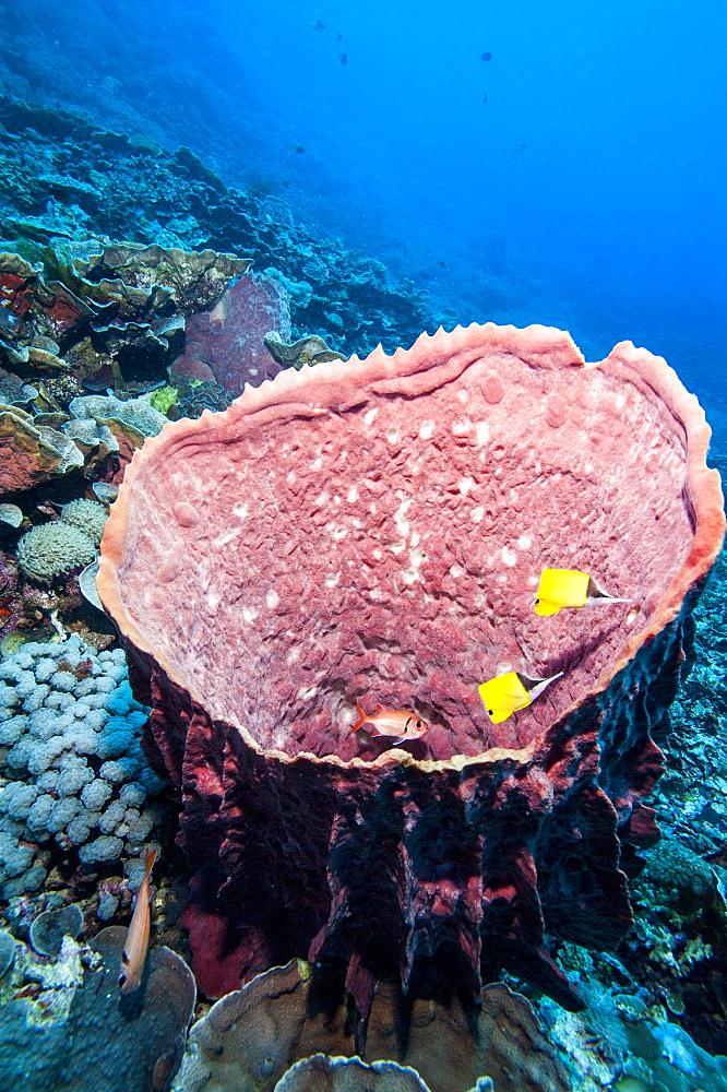 Azure vase sponge and big nose butterflyfish (Forcipiger flavissimus), Sulawesi, Indonesia, Southeast Asia, Asia