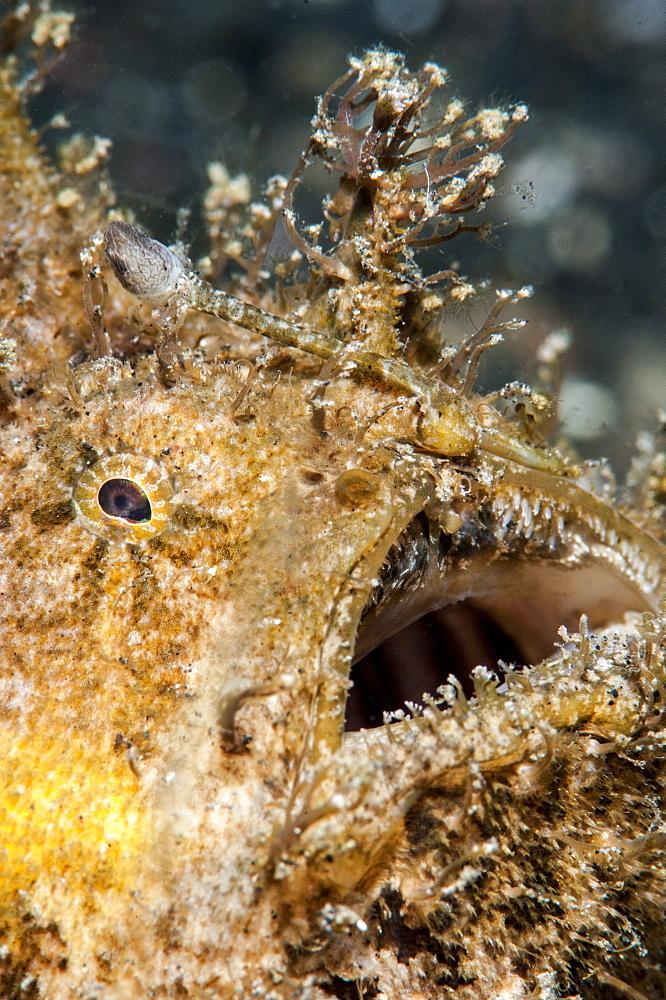Hairy frogfish (Antennarius striatus), Sulawesi, Indonesia, Southeast Asia, Asia