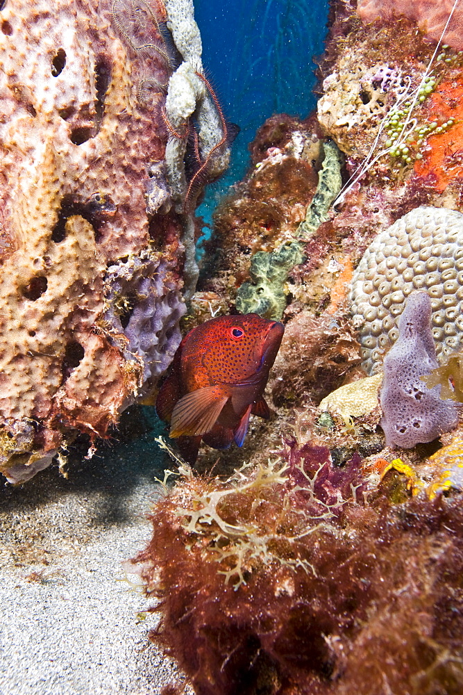 Coney (Cephalopholis fulva), St. Lucia, West Indies, Caribbean, Central America