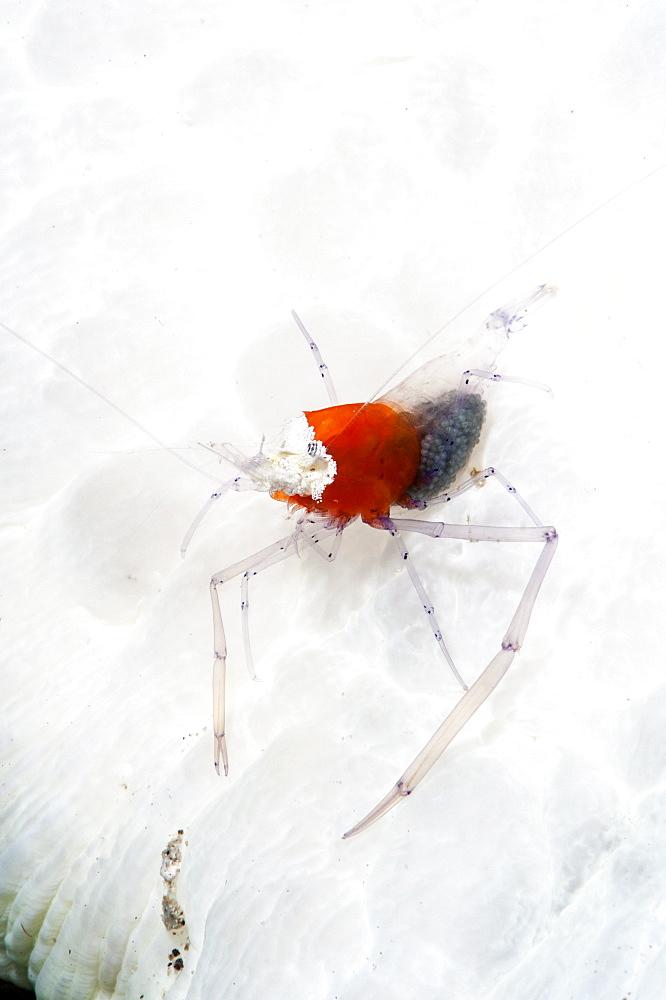 Commensal shrimp (Periclimenes kororensis), Sulawesi, Indonesia, Southeast Asia, Asia