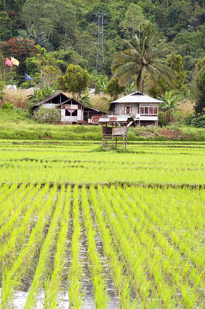 Rice paddy field, Sulawesi, Indonesia, Southeast Asia, Asia
