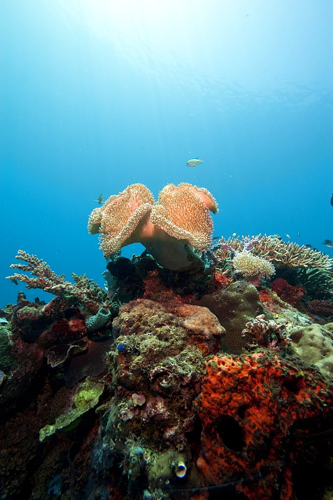 Reef scene with soft coral, Komodo, Indonesia, Southeast Asia, Asia