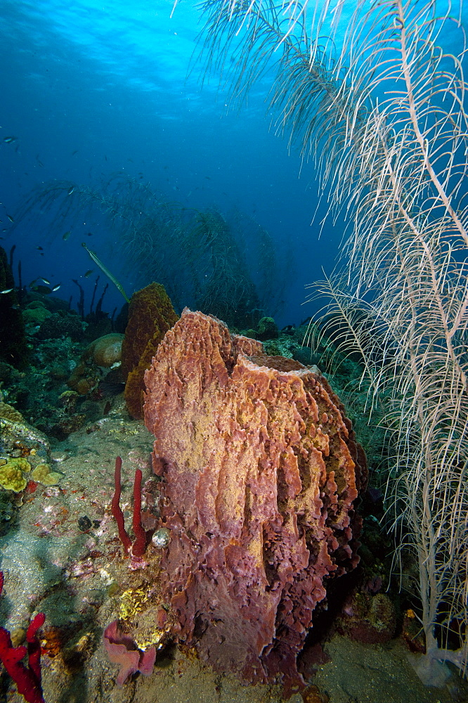 Giant barrel sponge, Dominica, West Indies, Caribbean, Central America - 1103-344