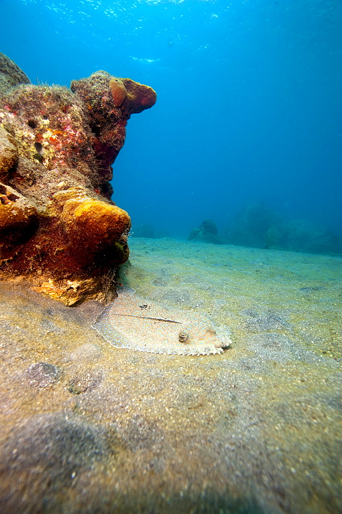 A rare maculated flounder (Bothus maculiferus), Dominica, West Indies, Caribbean, Central America - 1103-345