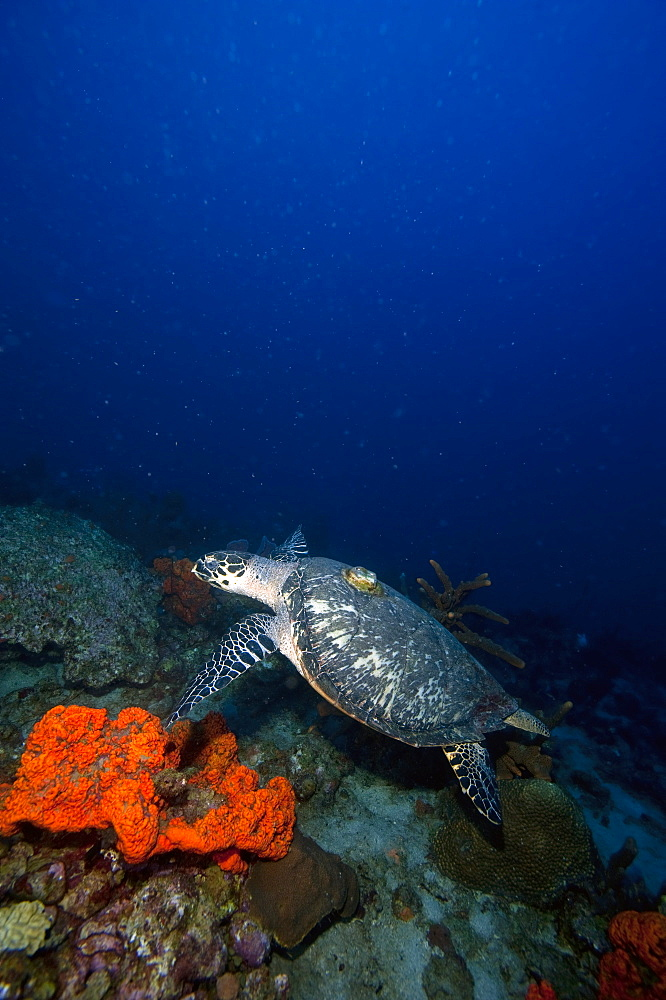Hawksbill turtle (Eretmochelys) with a tracking device on its back, Dominica, West Indies, Caribbean, Central America - 1103-351