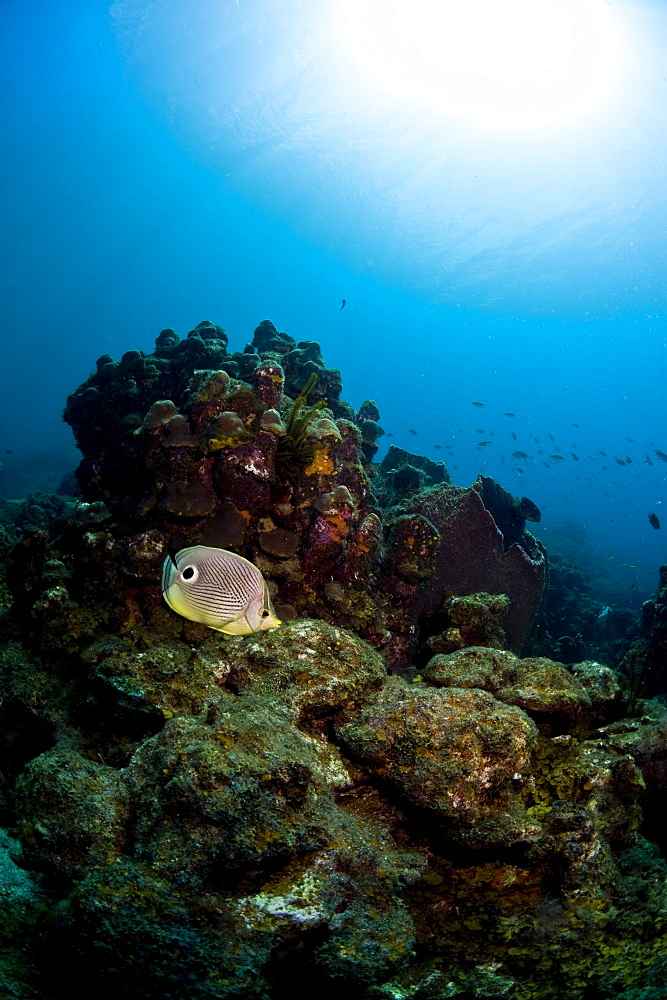 Foureye butterflyfish (Chaetodon capistratus), St. Lucia, West Indies, Caribbean, Central America