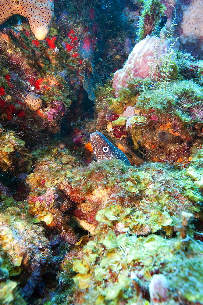 Spotted moray eel (Gymnothorax moringa) in a colourful healthy reef, Dominica, West Indies, Caribbean, Central America - 1103-369