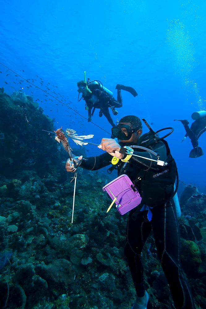 Dive guide culling Pacific lionfish which have infested the Caribbean, Dominica, West Indies, Caribbean, Central America - 1103-371