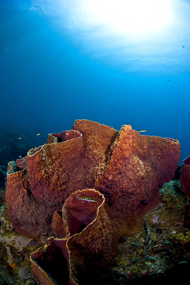 Giant barrel sponge (Xestosongia muta), St. Lucia, West Indies, Caribbean, Central America