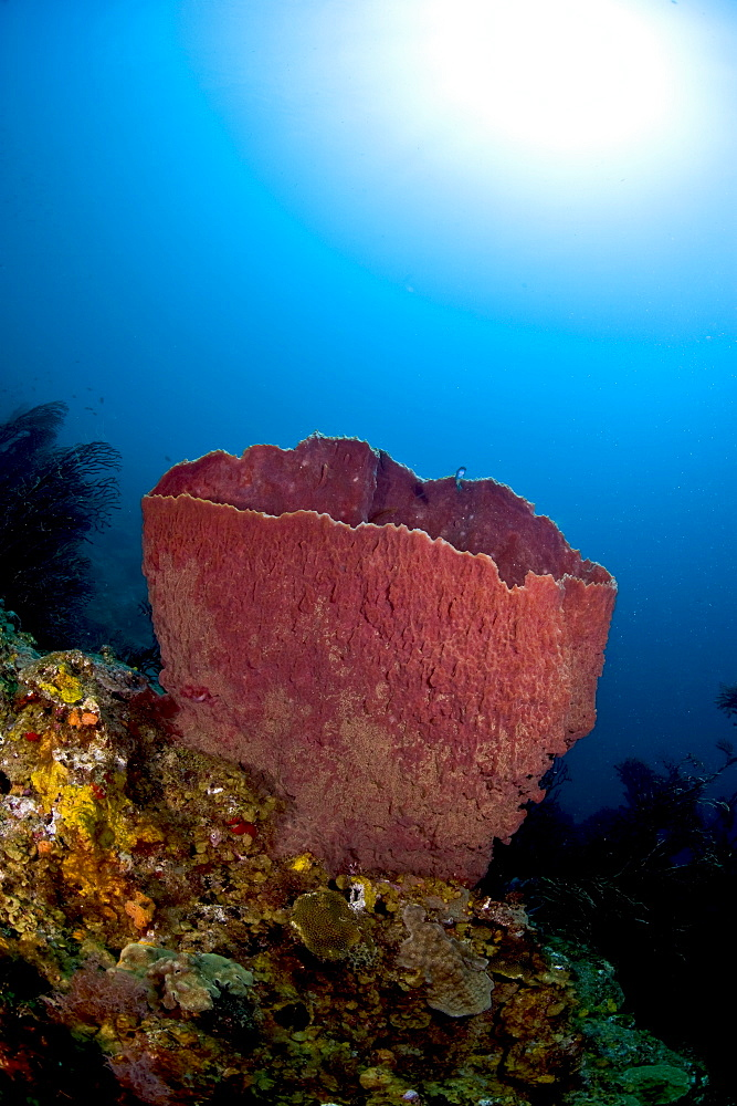 Giant barrel sponge (Xestosongia muta), and sunburst, St. Lucia, West Indies, Caribbean, Central America