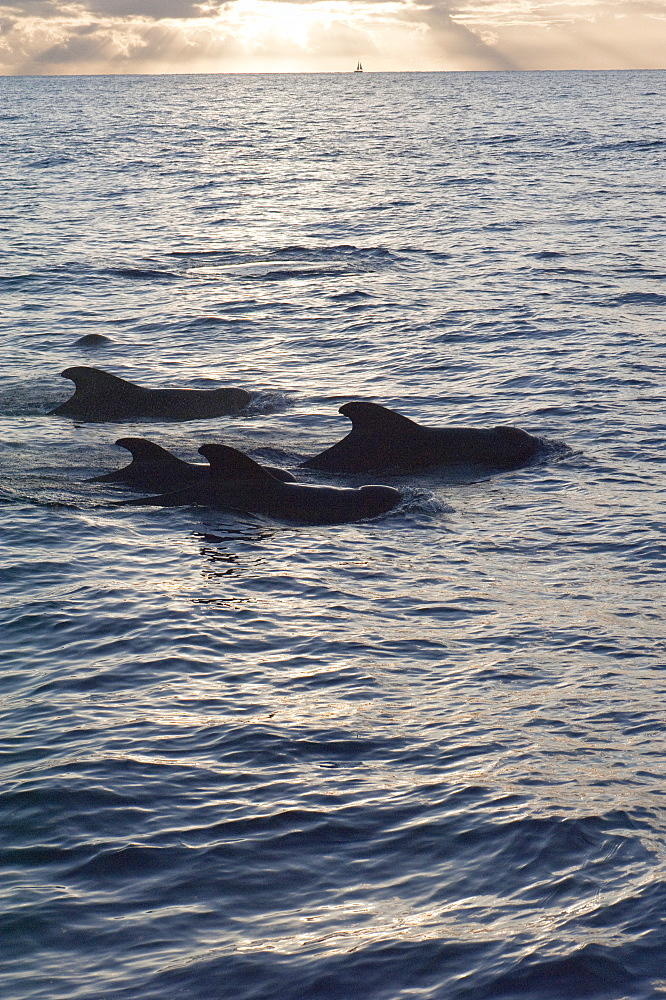 Pilot whales off the coast of Dominica, West Indies, Caribbean, Central America - 1103-392