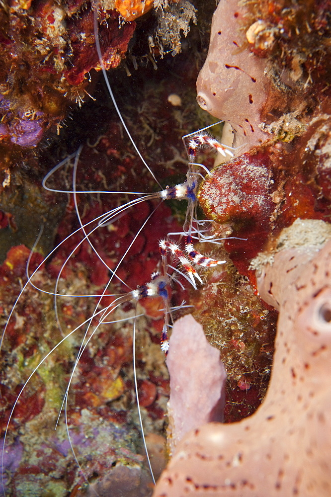 Banded coral shrimp (Stenopus hispidus), Dominica, West Indies, Caribbean, Central America - 1103-393