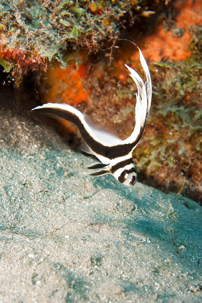 Juvenile spotted drum (Equetus punctatus), Dominica, West Indies, Caribbean, Central America - 1103-395
