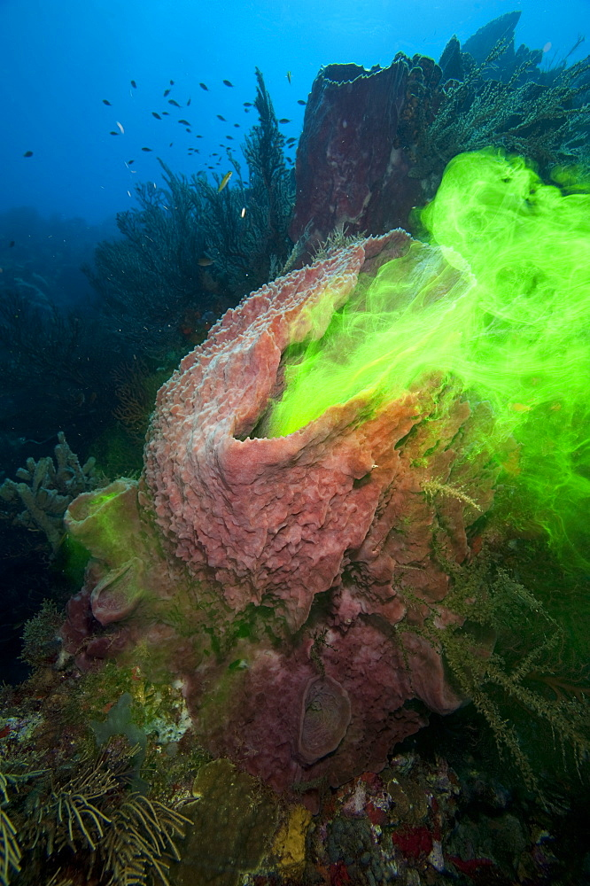 Giant sponge showing how it filters water with the use of dye, Dominica, West Indies, Caribbean, Central America - 1103-407