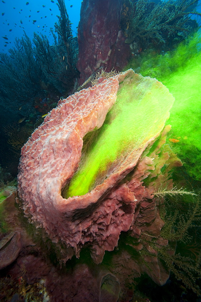 Giant sponge showing how it filters water with the use of dye, Dominica, West Indies, Caribbean, Central America - 1103-408
