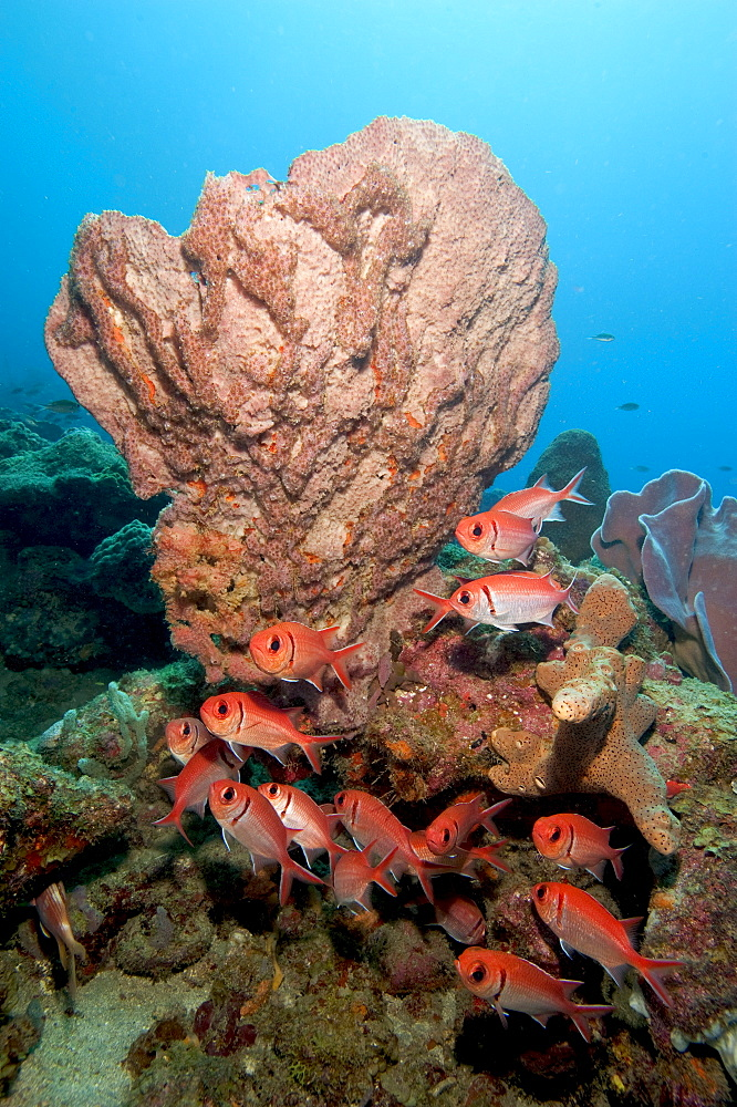 School of blackbar soldierfish (Myripristis jacobus), Dominica, West Indies, Caribbean, Central America - 1103-409