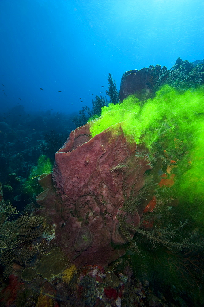 Giant sponge showing how it filters water with the use of dye, Dominica, West Indies, Caribbean, Central America - 1103-417