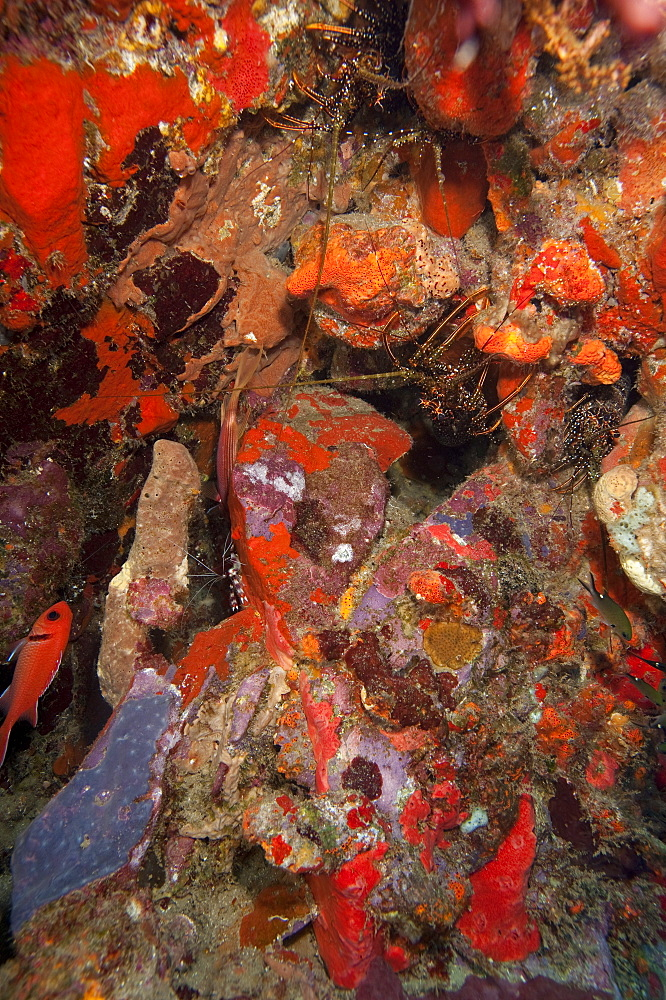 Caribbean lobster in coral wall, Dominica, West Indies, Caribbean, Central America - 1103-419