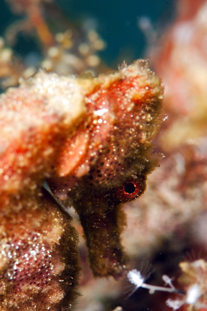 Longsnout seahorse (Hippocampus reidi), Dominica, West Indies, Caribbean, Central America - 1103-435
