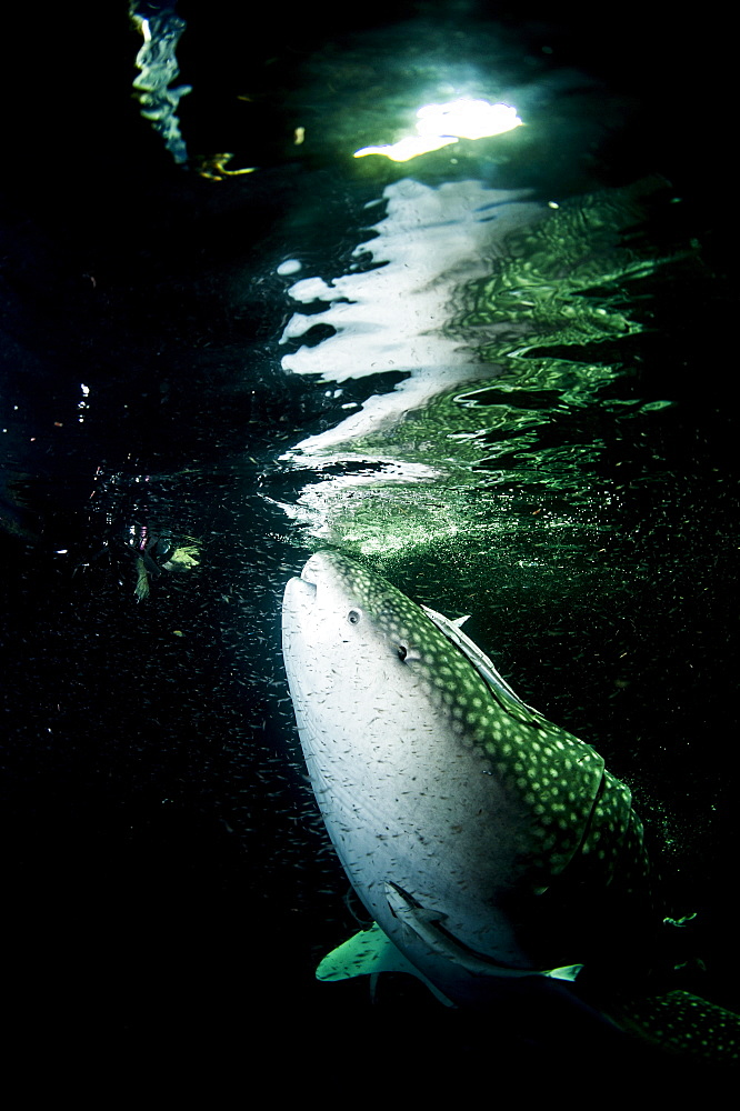 Whale shark (Rhincodon typus) feeding at night, Maldives, Indian Ocean, Asia - 1103-450