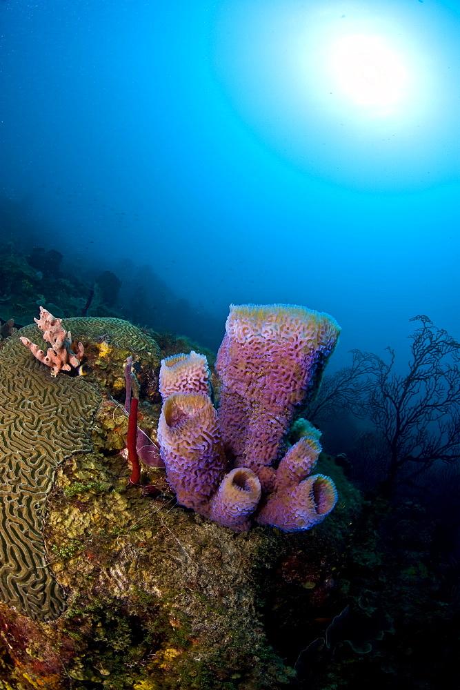 Azure vase sponge (Callyspongia plicifera), and sunburst, St. Lucia, West Indies, Caribbean, Central America