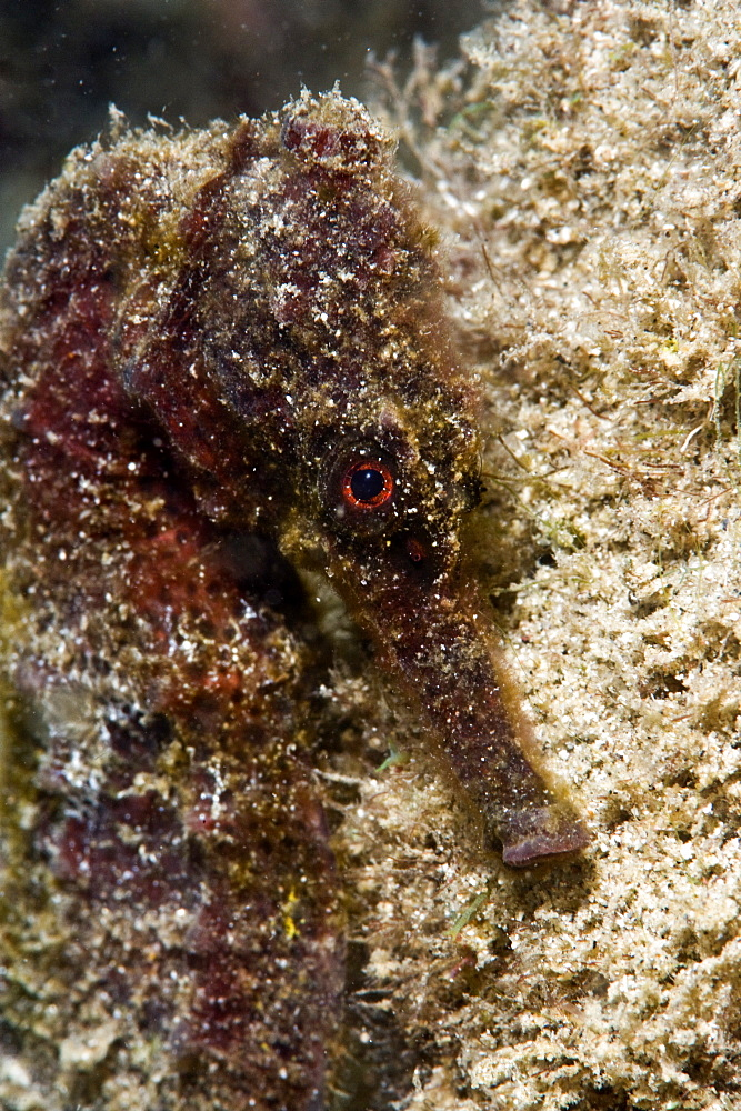 Longsnout seahorse (Hippocampus reidi), uncommon to Caribbean, grows to 2.5 to 4 inches, St. Lucia, West Indies, Caribbean, Central America