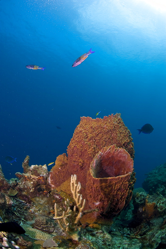 Barrel sponges and creole wrasse, St. Lucia, West Indies, Caribbean, Central America