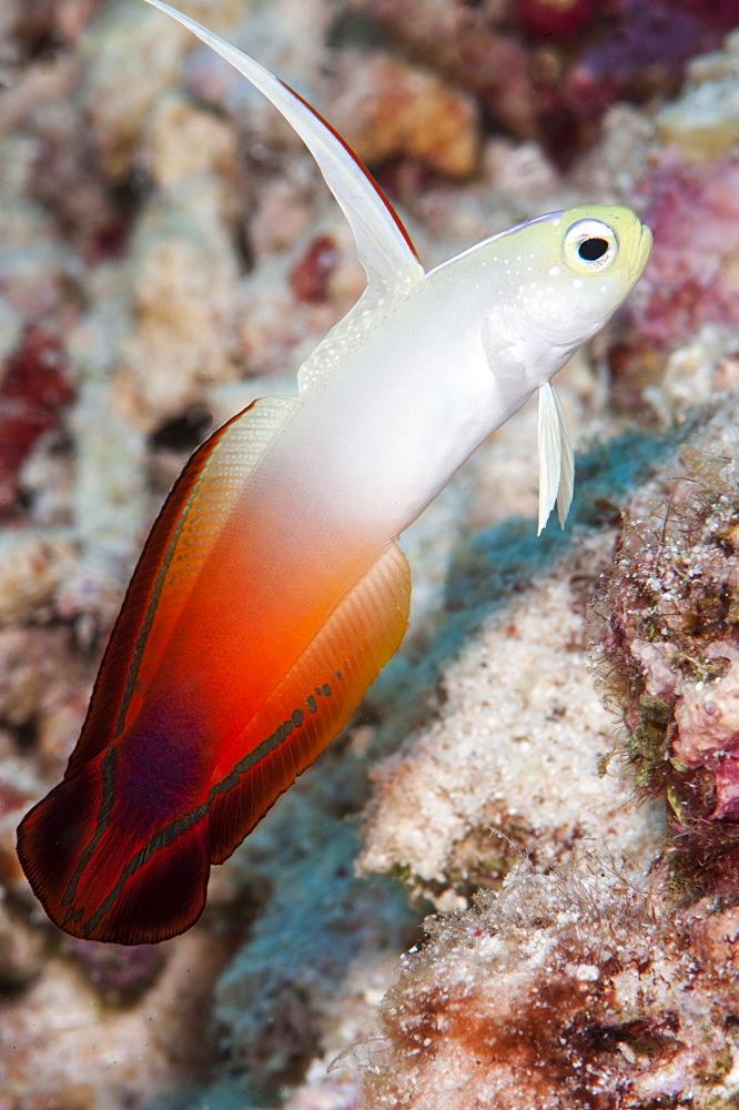 Fire dartfish (Nemateleotris magnifica), Sulawesi, Indonesia, Southeast Asia, Asia