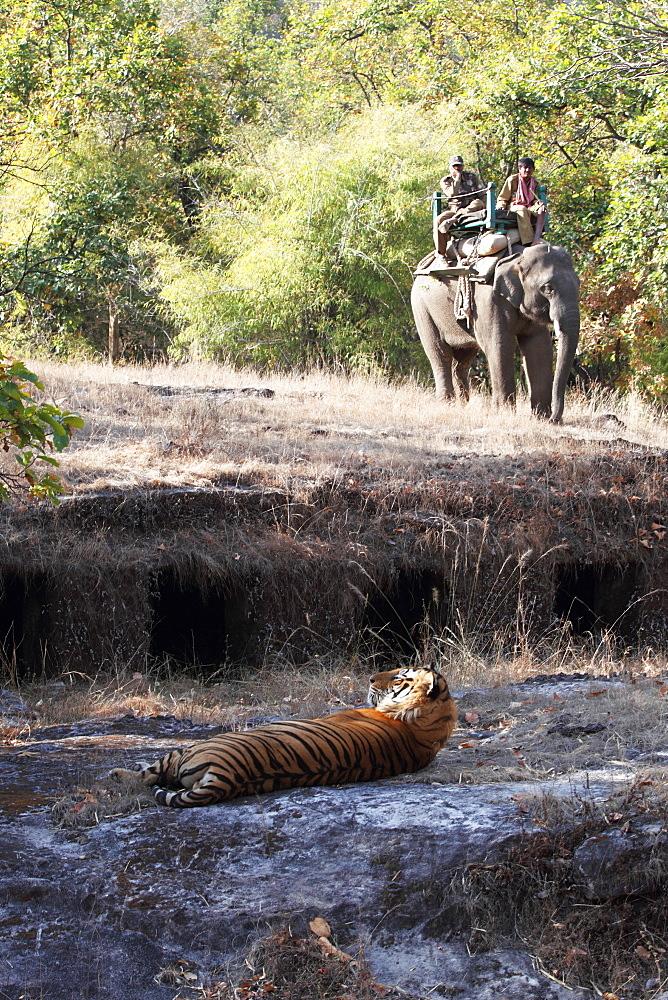 Bengal tiger, Panthera tigris tigris, Bandhavgarh National Park, Madhya Pradesh, India - 1106-16
